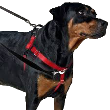Rottweiler wearing freedom harness